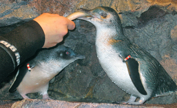 Feeding fish to a Little Blue Penguin
