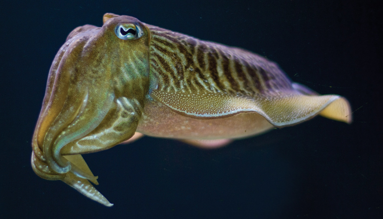 Common Cuttlefish swims through its exhibit