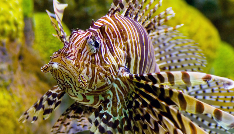 Lion fish swims through its exhibit