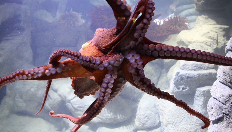 Octopus swims through its tank