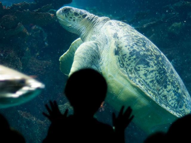 Myrtle the turtle swims through giant ocean tank