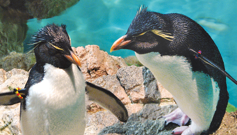 Southern rockhopper penguins stand on rock formation in exhibit