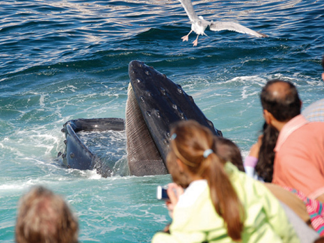 Visitors watching a whale feeding on a whale watch