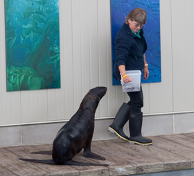 Marine mammal trainer with North Atlantic fur seal