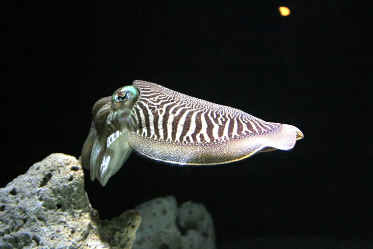 common cuttlefish hovering in water