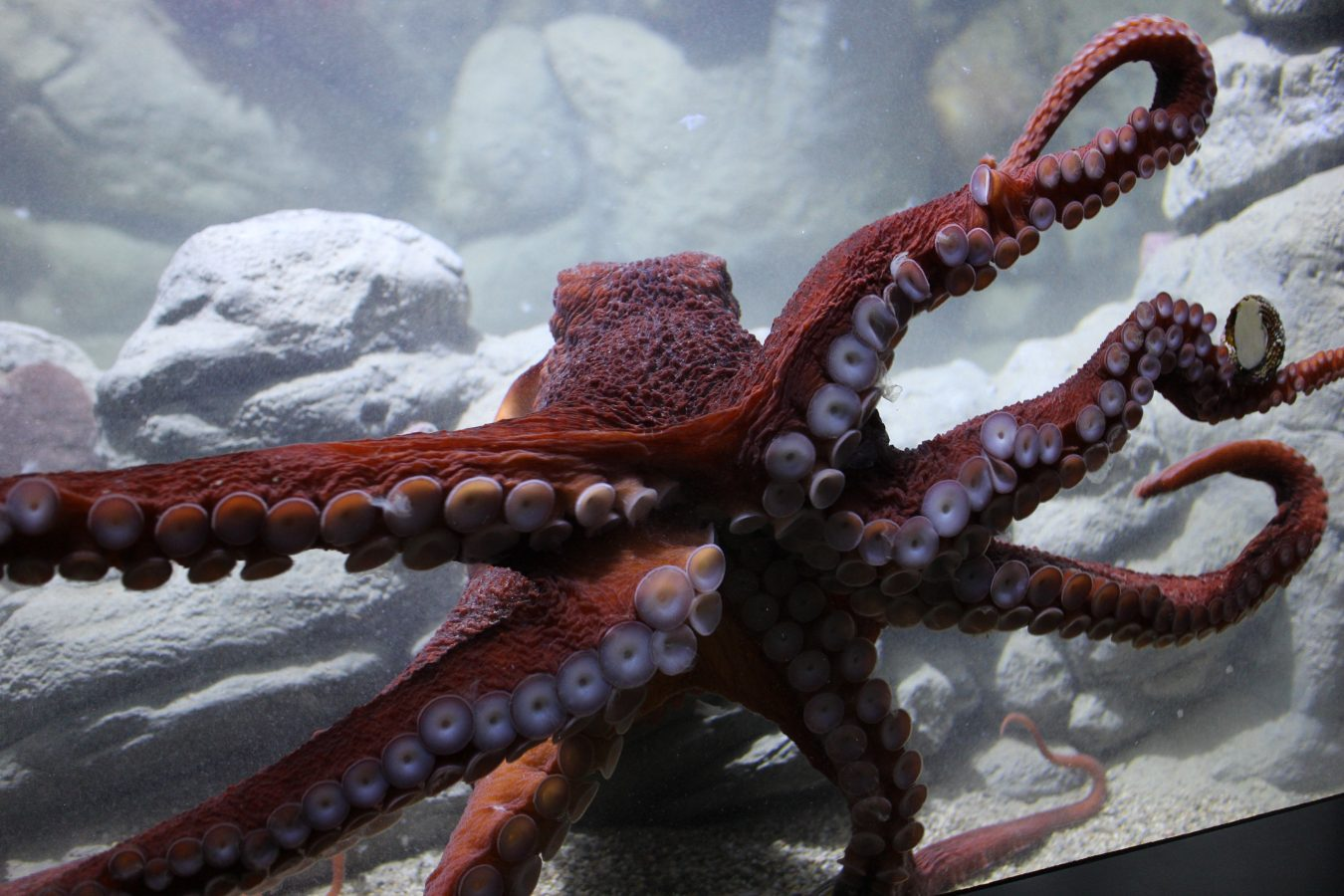 Giant Pacific Octopus moves across the glass of its exhibit