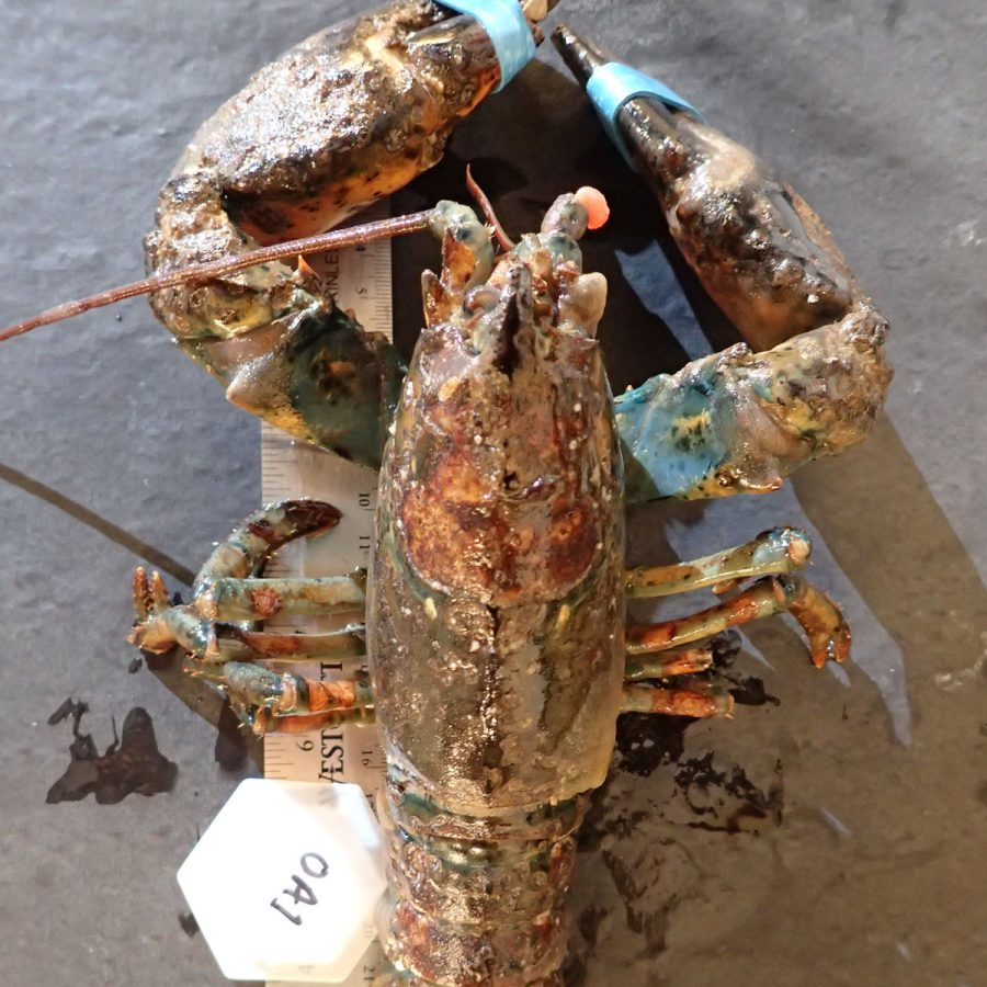 lobster with shell disease
