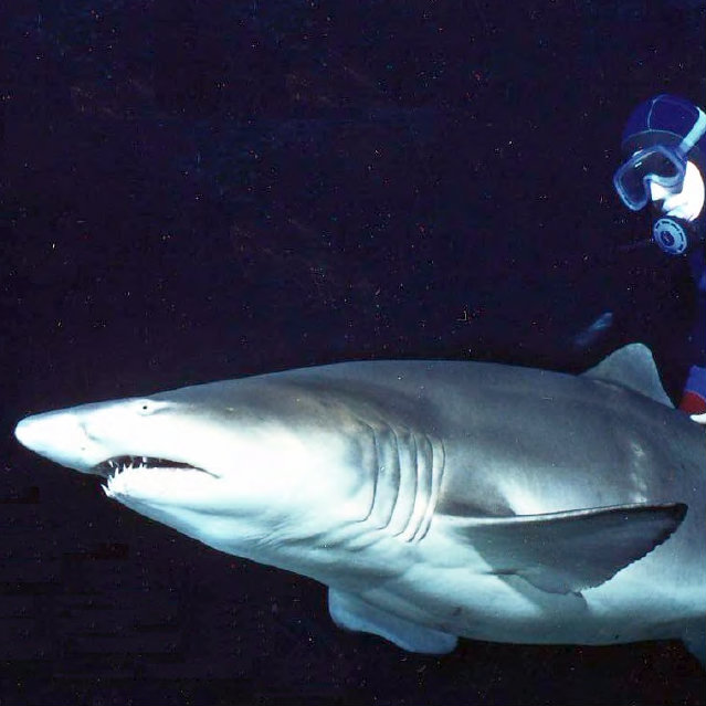 mark smith swims with sand tiger shark