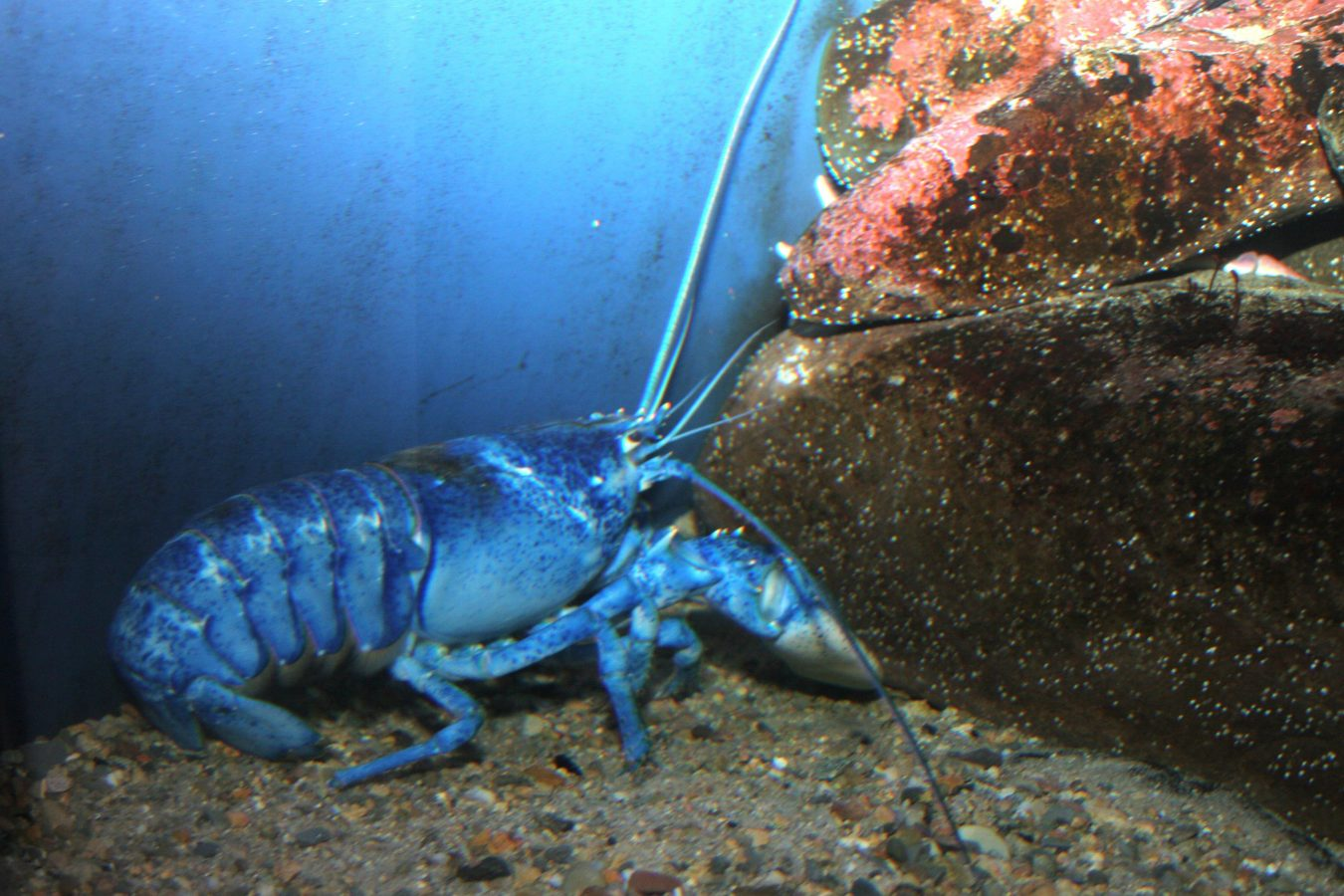 blue lobster walks along rocks and sand underwater