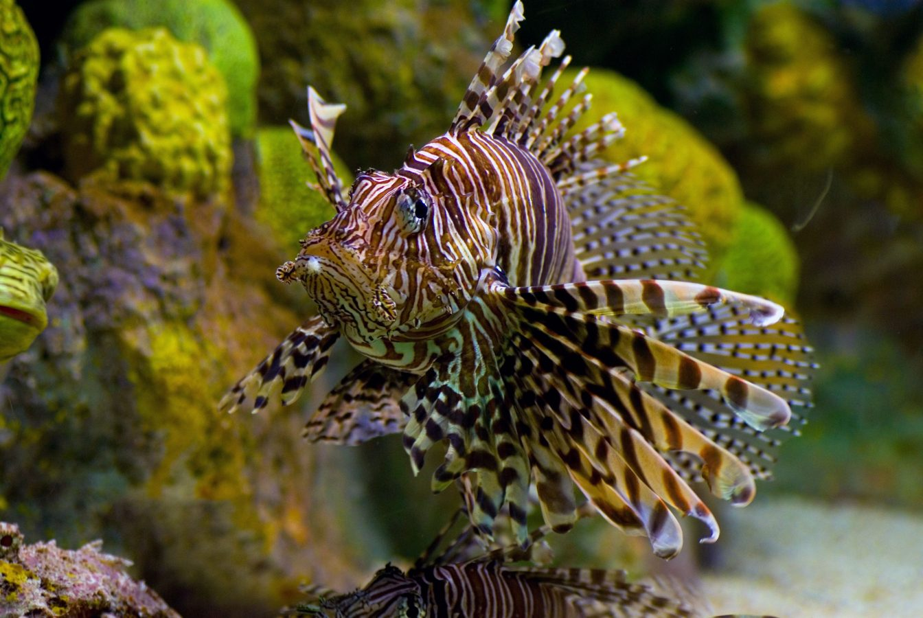 Lion fish swims through exhibit