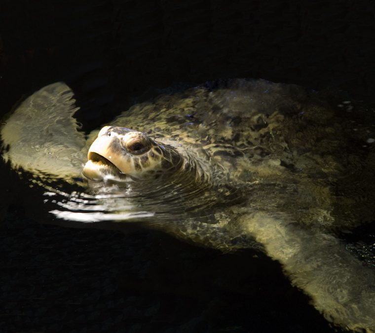 Myrtle the turtle surfaces in giant ocean tank