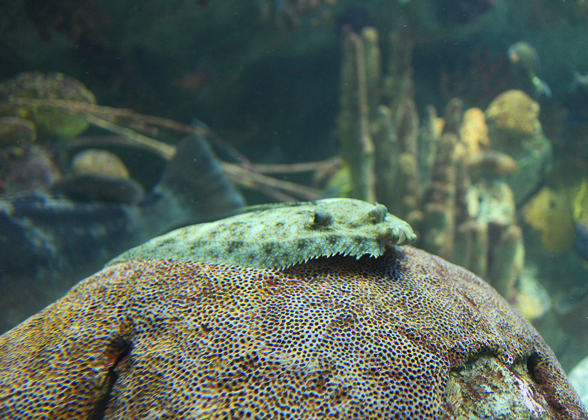 peacock flounder rests on coral