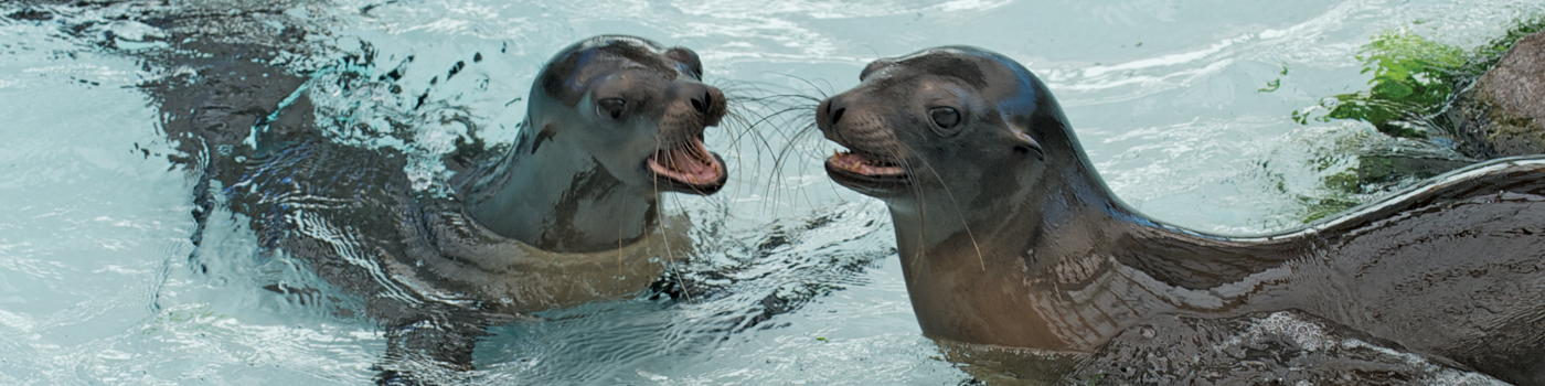 Two California Sea Lions lay on flat surface of exhibit