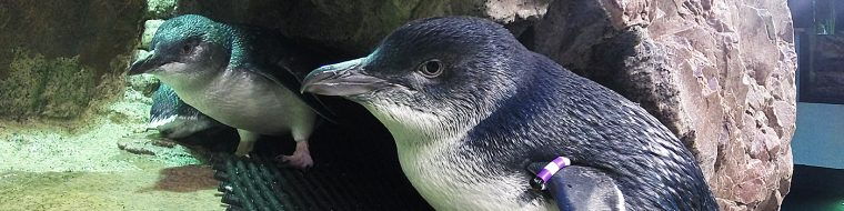 Two Little Blue Penguins stand low in their exhibit