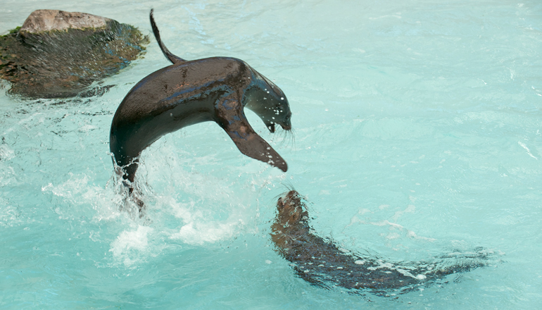 playful sealion leaps out of water
