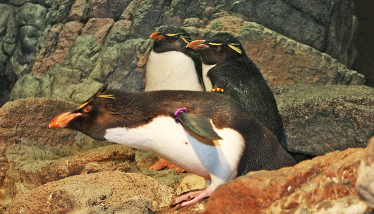 Three Rockhopper Penguins stand on rock formation in their exhibit