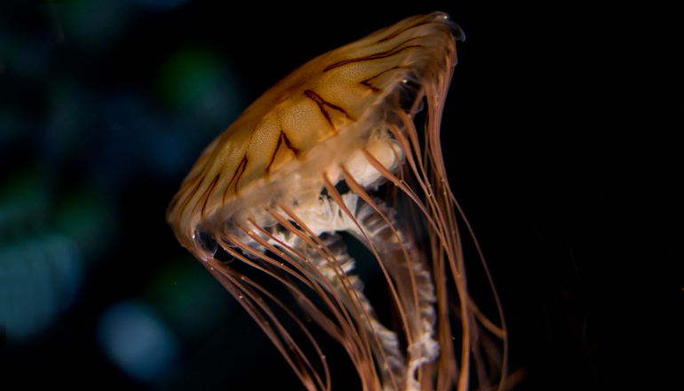 Striped Jelly moves through its tank