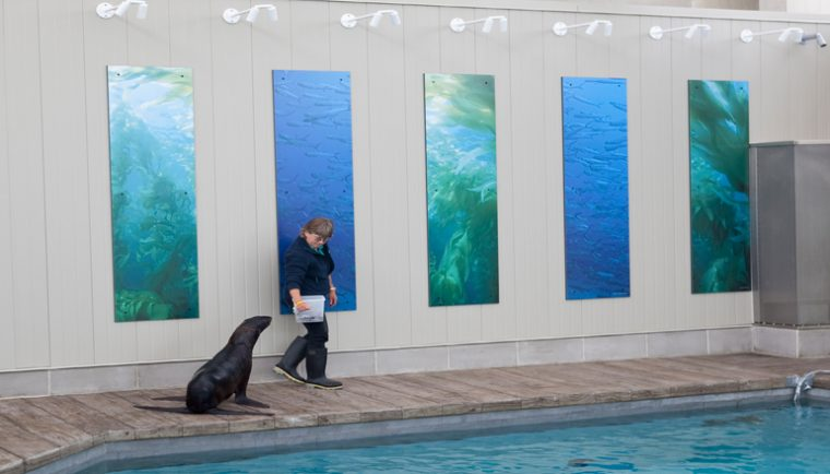 Trainer walks with seal in exhibit