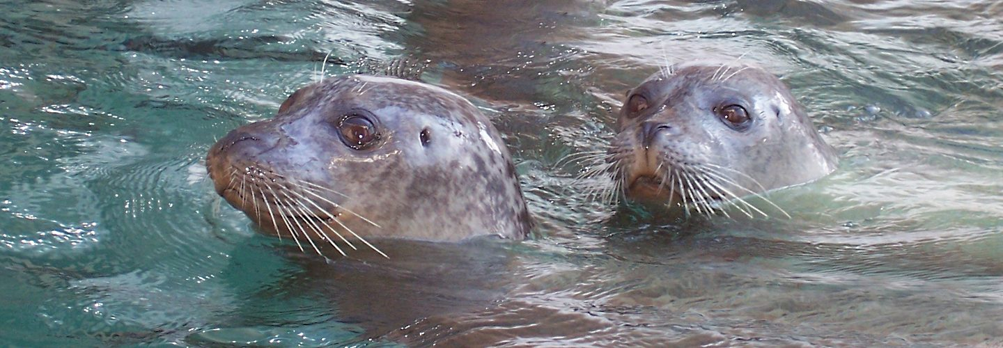 Two harbor seals poking their heads out of the water