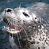 Harbor Seal button