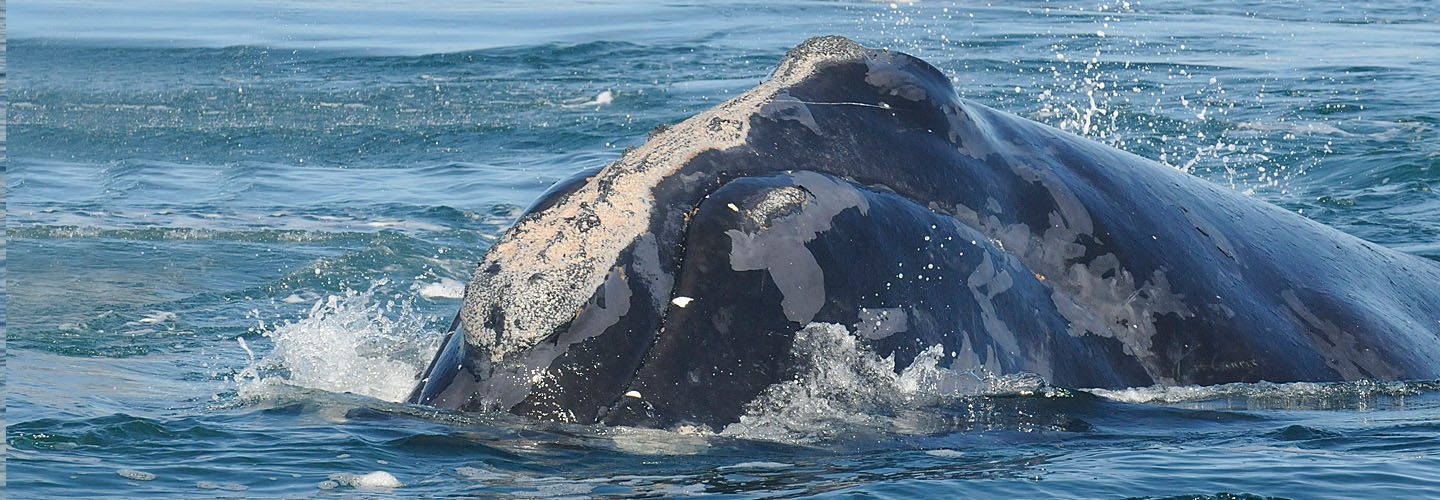 North Atlantic Right Whale named Manta