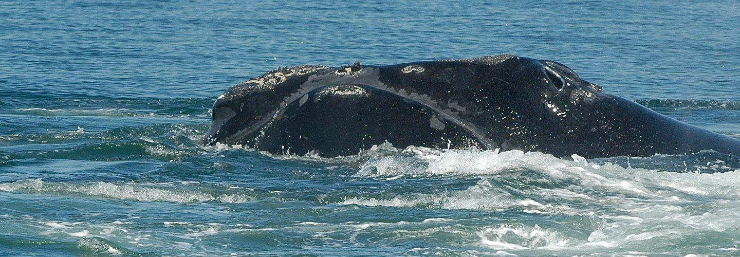North Atlantic Right Whale named Phoenix