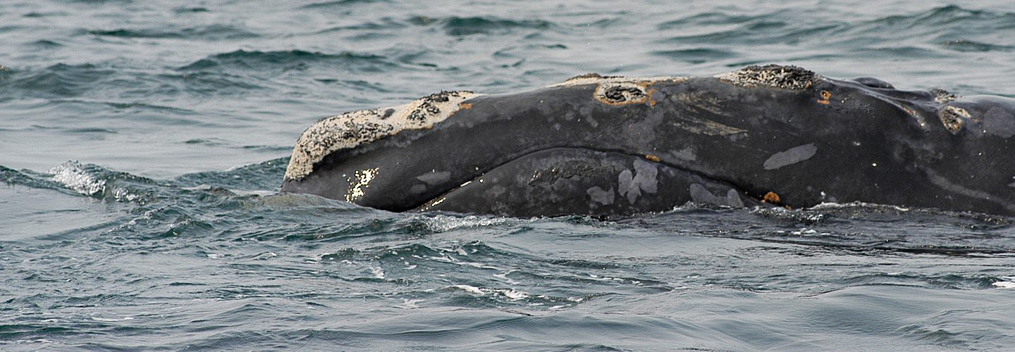 North Atlantic Right Whale named Shackleton