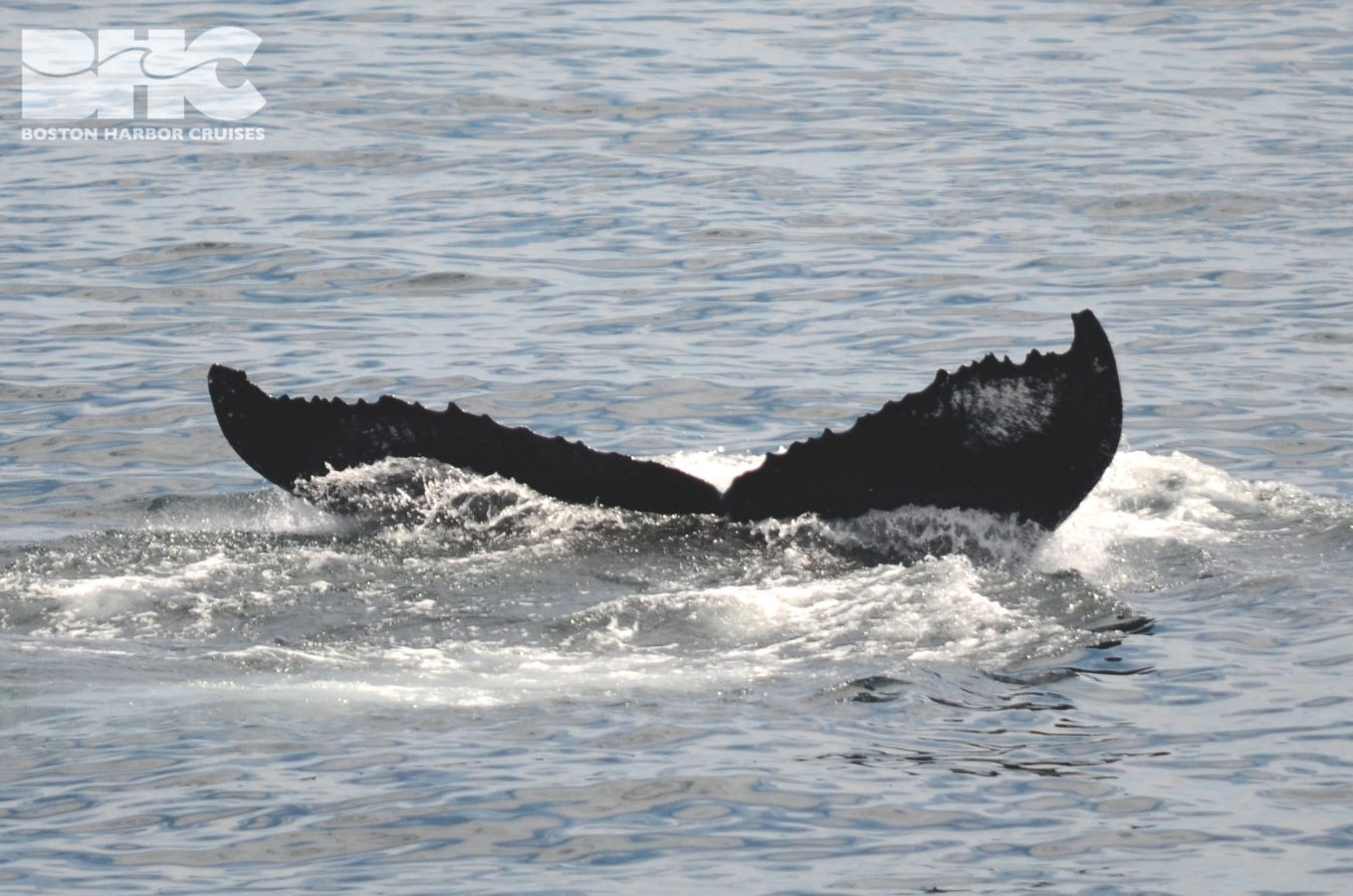 fluke of a humpback whale named Bounce