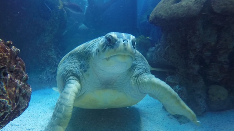 Myrtle the green sea turtle