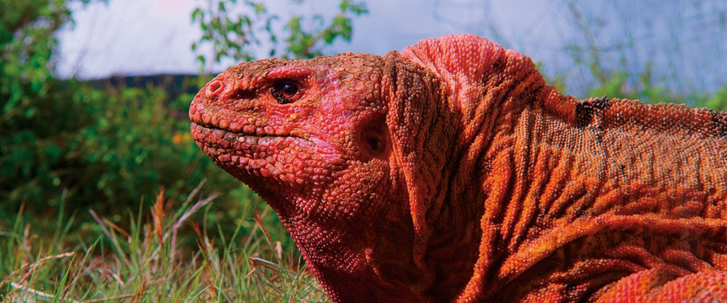 red iguana from Galapagos 3D