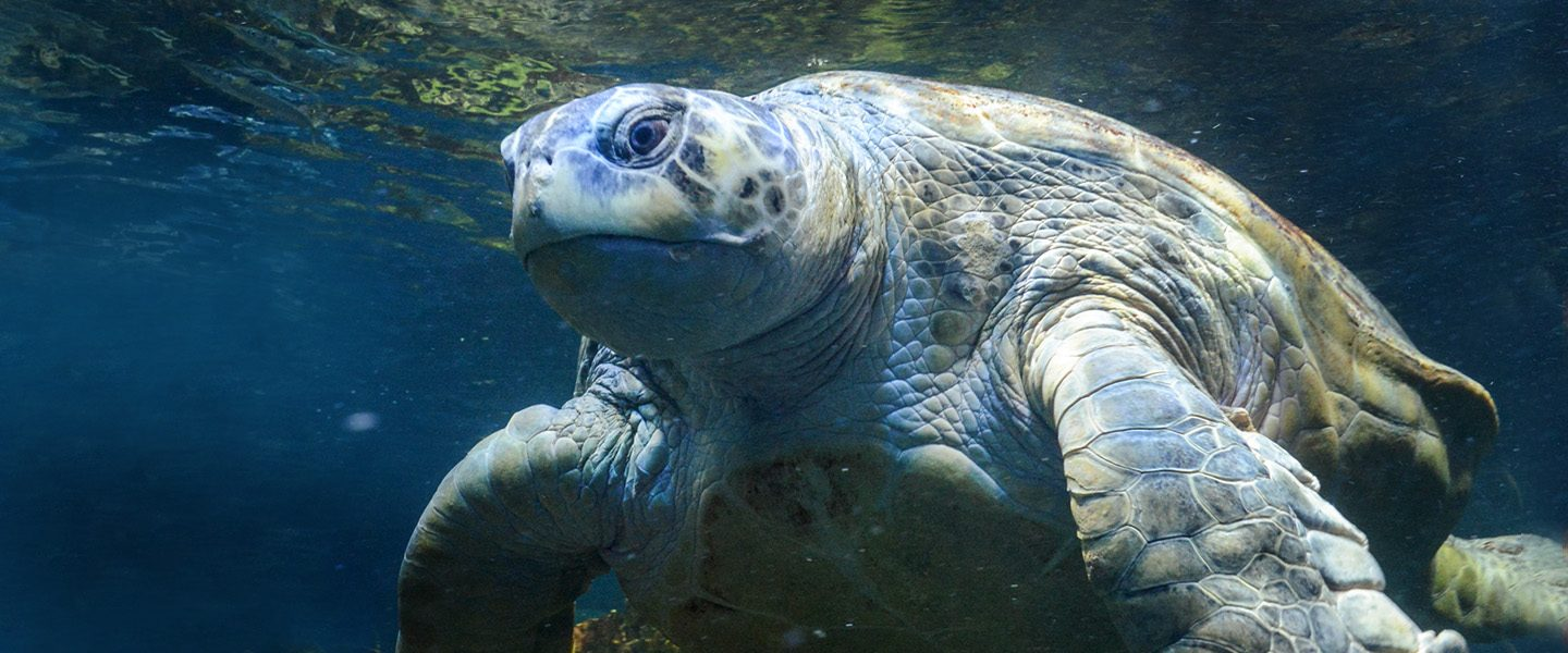 Myrtle the green sea turtle swimming through the giant ocean tank