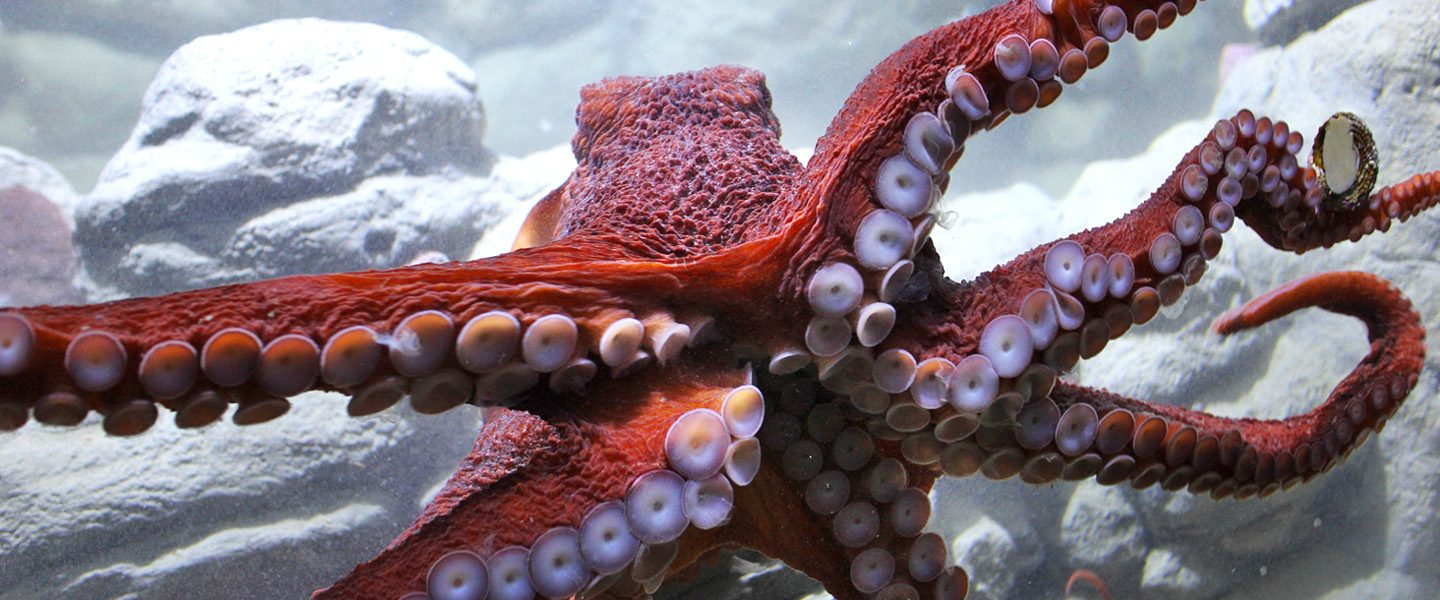 giant pacific octopus glides through its exhibit