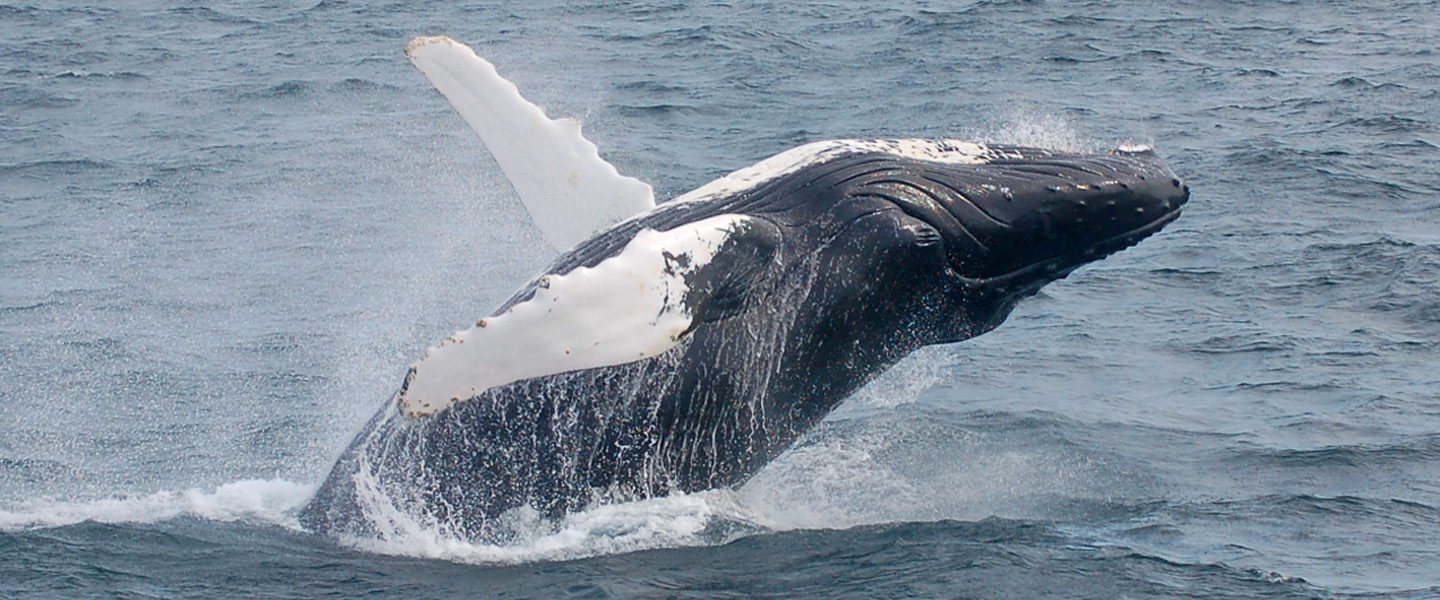 whales breaches on water