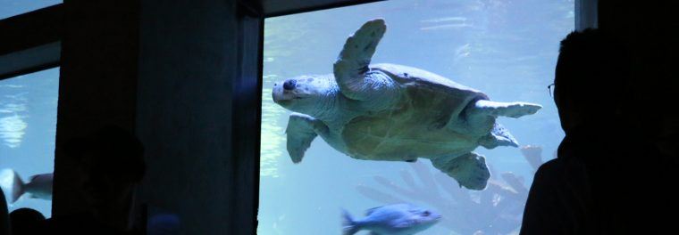 Turtle swimming in the Giant Ocean Tank
