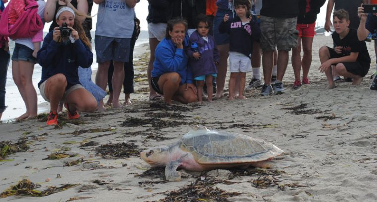 Kemp's ridley sea turtle crawling to waves
