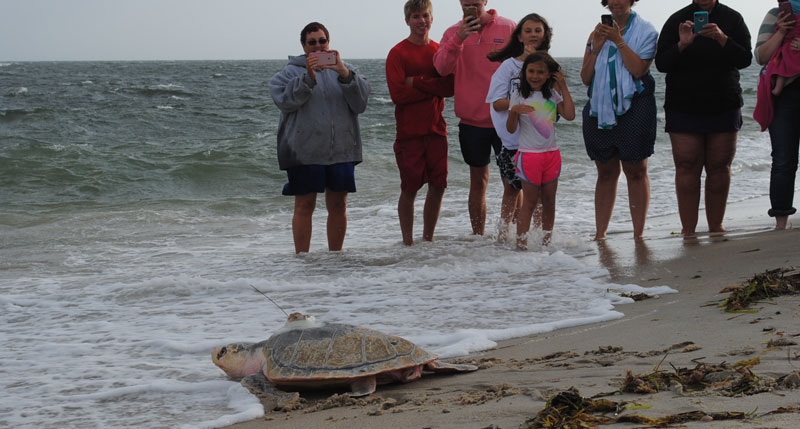 visitors watch sea turtle wade into waves