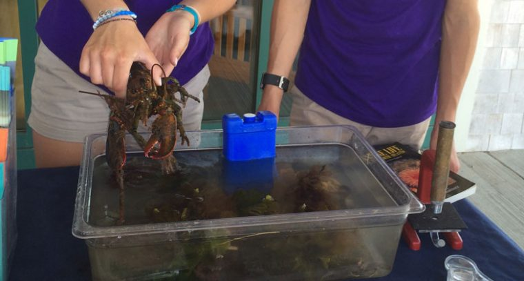 an educator holds a young lobster on spectacle island
