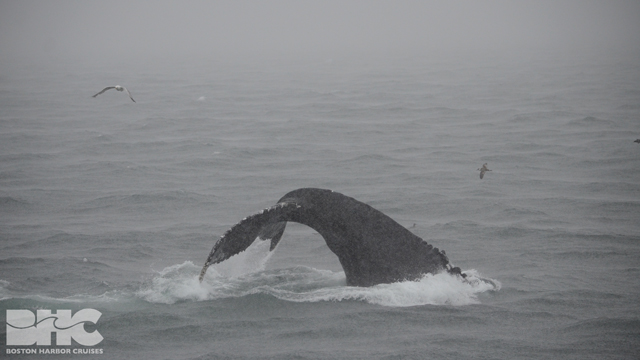 humpback whale kick feedingq