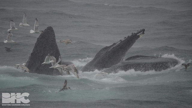humpbacks feeding in the rain