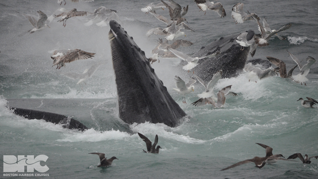 humpback whale mouths agapeq