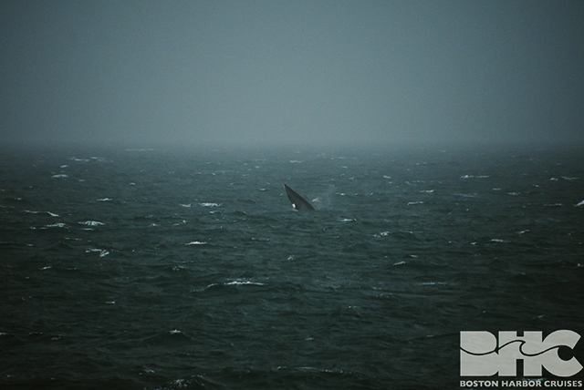 gray ocean with minke breaching in background