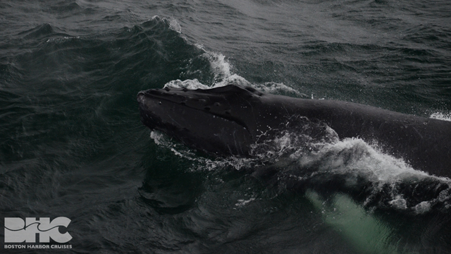 humpback calf chin breachingq