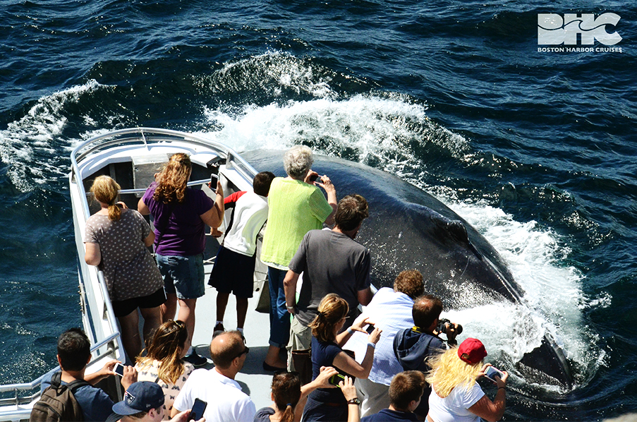 whale next to whale watch boat