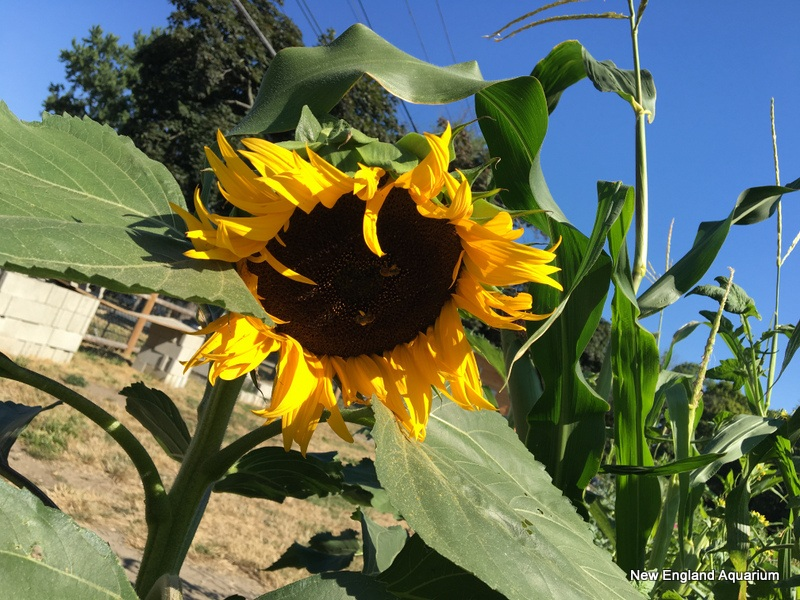 wilted sunflower