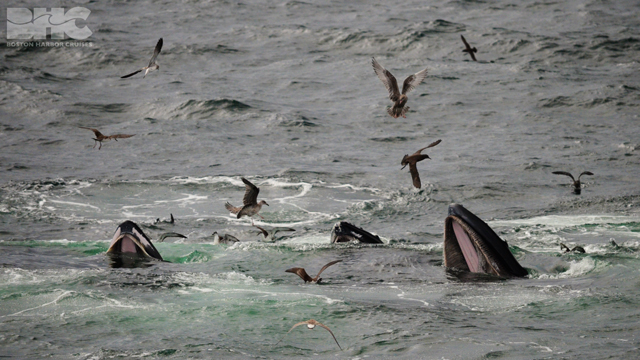 humpback whales feeding at surface