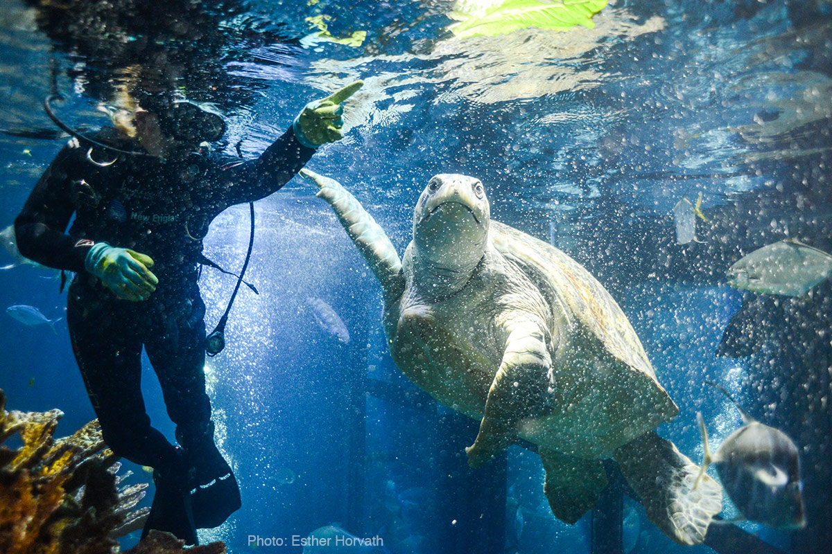 scuba diver in Giant Ocean Tank with Myrtle the turtle