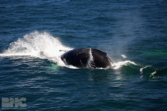 humpback whale splash at surface