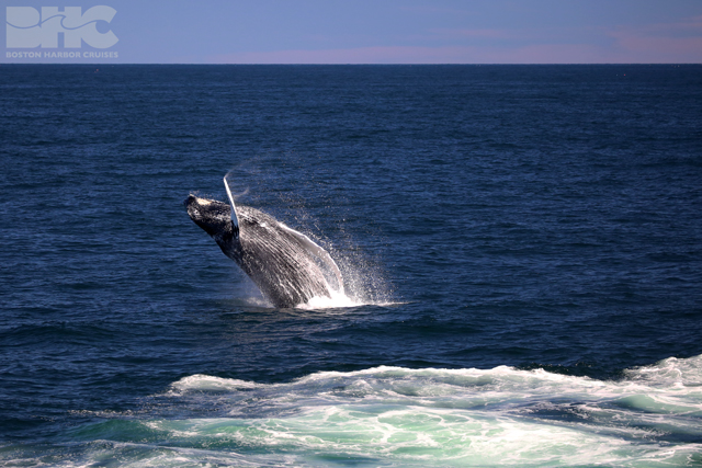 humpback whale breaches in distance