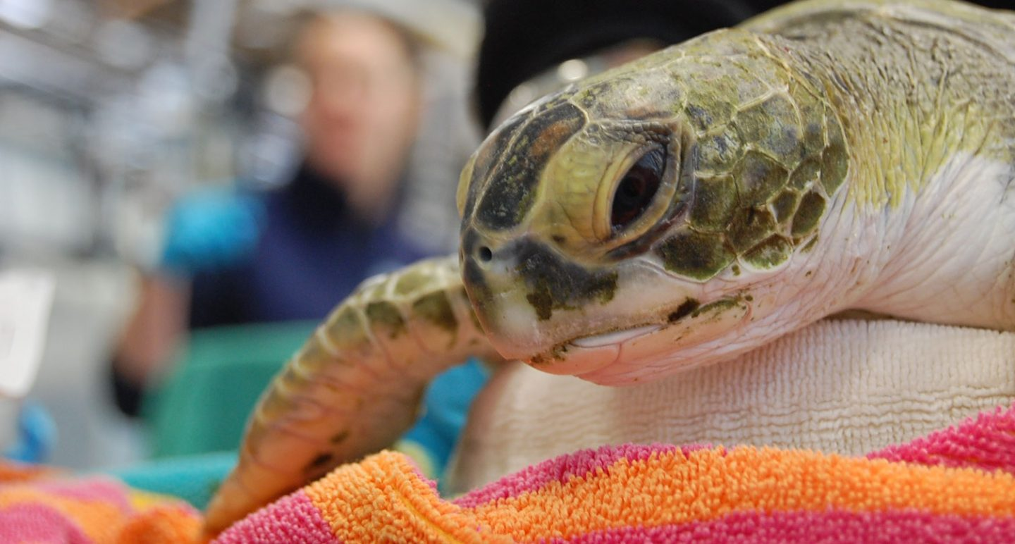 society should rescue green sea turtles Learn about cma's latest sea turtle rescue, xiphosura watch rescue-clearwater, clearwater marine aquarium's web tv series, a real life follow up to the dolp.