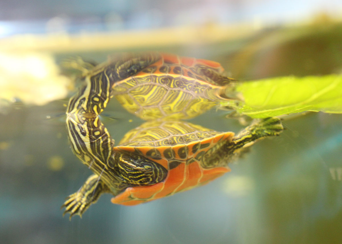 red-bellied cooter underwater